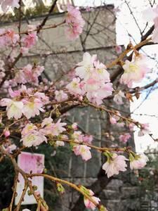 20151219_御池桜
